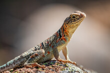 A Female Collared Lizard (Crotaphytus Collaris) Or Mountain Boomer Resting On A Rock