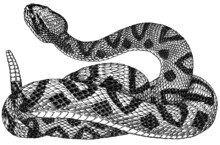 Black And White Vector Illustration Of Rattlesnake