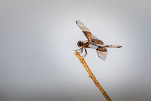 Female Widow Skimmer (Libellul...