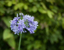 Single Blue Agapanthus Flower Against Soft Green Background With Copyspace
