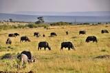 Fototapeta Sawanna - Stado bawołów afrykańskich (Syncerus caffer). Rezerwat Masai Mara (Kenia)