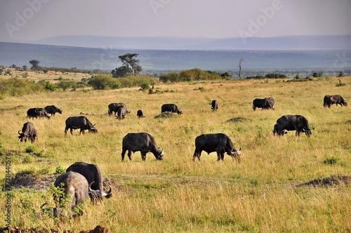 Stado bawołów afrykańskich (Syncerus caffer). Rezerwat Masai Mara (Kenia)
