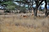 Fototapeta Sawanna - Stado dorodnych samców antylopy impala (Aepyceros melampus).  Rezerwat Buffalo Spriings, wieczór (Kenia)