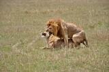 Fototapeta Sawanna - Para kopulujących lwów. Rezerwat Masai Mara (Kenia)