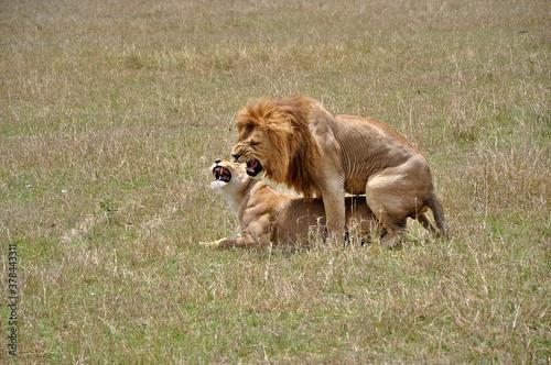 Para kopulujących lwów. Rezerwat Masai Mara (Kenia)