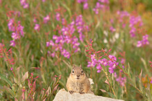 Golden-mantled Ground Squirrel In Some Fireweed;  Snowy Range;  Wyoming