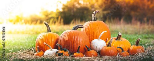 Fototapeta Harvested Pumpkins On Green Grass obraz