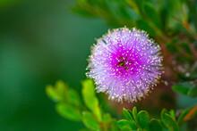 Pink Melaleuca Flower From The Garden