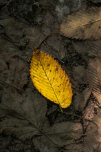 A Single Beautiful Yellow Leaf...