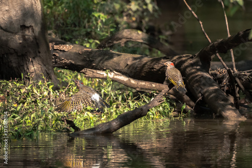 Fototapeta Incredible wildlife photograph of pair of northern flicker woodpecker birds with one sitting on the end of a branch in the river as the other takes off splashing water droplets in the air as it flies. obraz