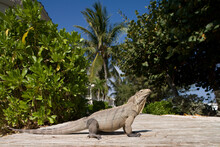 Lesser Caymans Iguana, Little ...