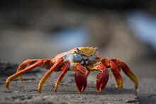 Sally Lightfoot Crab, Galapago...