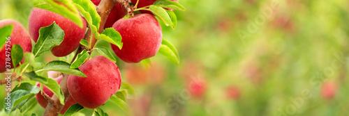 Obraz na plátně Red apples on tree branches
