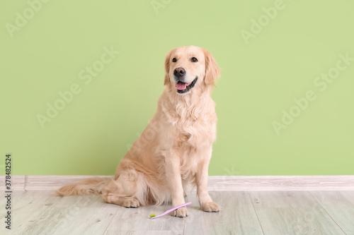 Fototapeta Cute dog with tooth brush near color wall obraz