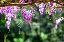 Close Up Of Wisteria Flowering On Green Out Of Focus Background In Garden.