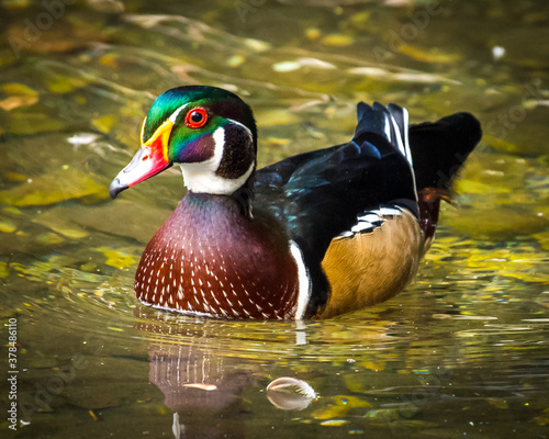 Wood Duck on the pond Fototapet