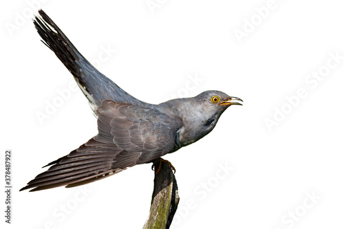 Fototapeta Common cuckoo, cuculus canorus, sitting on branch isolated on white background. Grey bird looking with open mouth cut out on blank. Exotic feathered animal staring on bough with copy space. obraz
