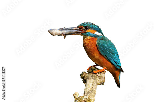 Cuadros en Lienzo Male common kingfisher, alcedo atthis, holding fish on branch cut out on blank