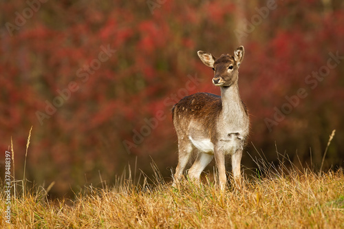 Young fallow deer, dama dama, fawn looking on autumn meadow with red leaves in background Fotobehang