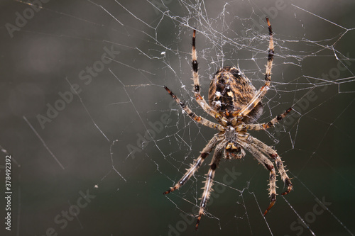 Photo Araneus Diadematus, pająk krzyżak.