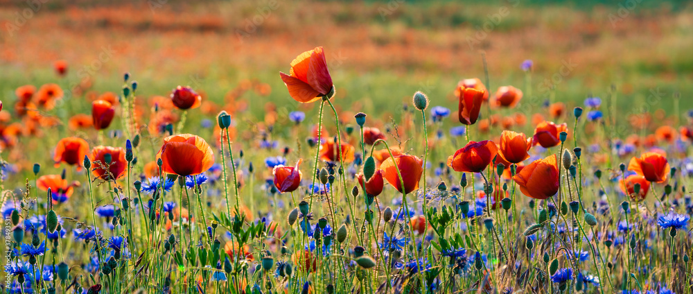 Fototapeta blooming wild flowers and herbs in a meadow in the light of the setting sun