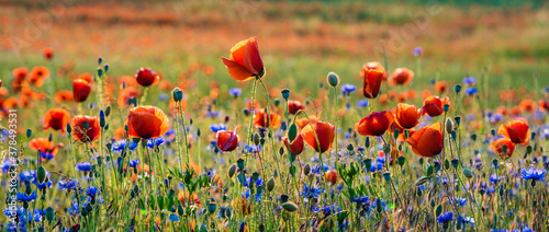 Obraz blooming wild flowers and herbs in a meadow in the light of the setting sun - fototapety do salonu