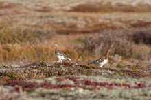 White Partridge In Summer Tundra. White Grouse.