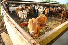 Indian Dairy Farming, Indian C...