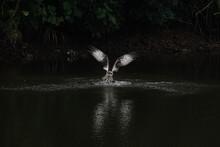 Osprey Dives