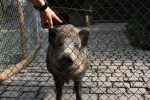 Cute Big Boar