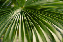 Close Up Green Palm Leaf Patte...
