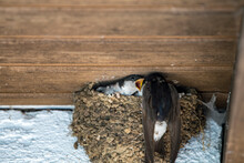 Mother Feeding Young Baby Swallows In Nest