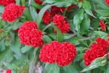 "Bright Red Celosia, Or ""brain Flowers"" In A Garden"