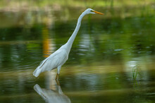 Great Egret Closeup In A Shall...