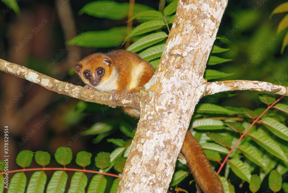 Fototapeta small brown mouse lemur (Microcebus rufus) at night in natural habitat, Masoala national park, Madagascar wildlife