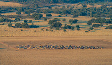 Sheep Cattle On The Countrysid...