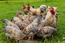 Roosters And Hens Peck Grains From The Trough. Close Up . Bielefelder Is A German Breed Of Domestic Chickens.