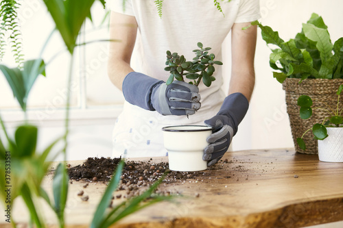 Fototapeta Man gardeners transplanting plant in ceramic pots on the design wooden table. Concept of home garden. Spring time. Stylish interior with a lot of plants. Taking care of home plants. Template. obraz