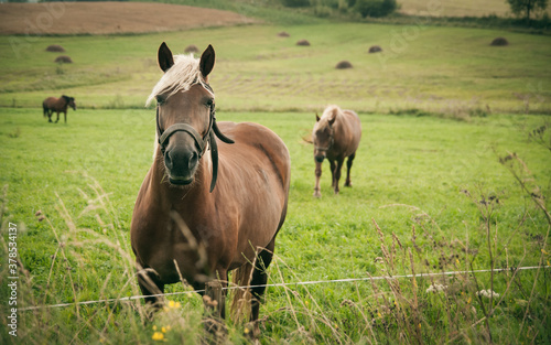 Polish horses grazing in the summer. Eastern Europe countryside. Wallpaper Mural