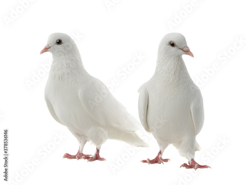 Tela Two white doves isolated on a white background.