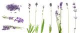 Fototapeta Kawa jest smaczna - Set of lavender flowers on white background. Banner design