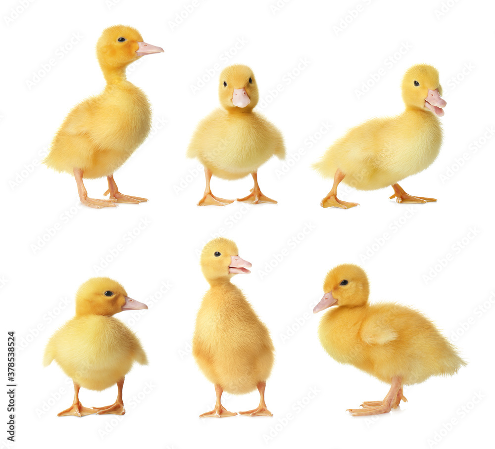 Fototapeta Collage with cute fluffy ducklings on white background. Farm animals