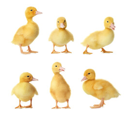 Collage with cute fluffy ducklings on white background. Farm animals