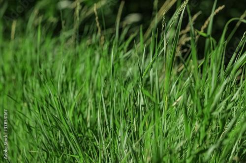 Fotografía Beautiful green grass outdoors on sunny day