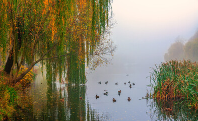 Obraz na Szkle Rzeki i Jeziora Mist descended over the lake. Ducks are swimming. Reeds grow along the banks.