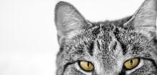 Cat Staring At Viewer, Close U...