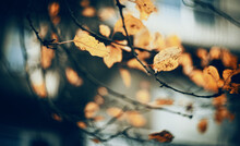 Autumn Background With Birch B...