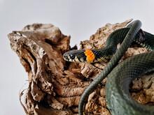 Non-venomous Snake On A White ...