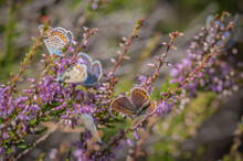 Closeup Of Several Idas Blue Or Northern Blue Butterflies On The Flowering Purple Common Heather Bush