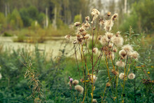 Dried Milk Thistle Flowers On The Background Of The Swamp